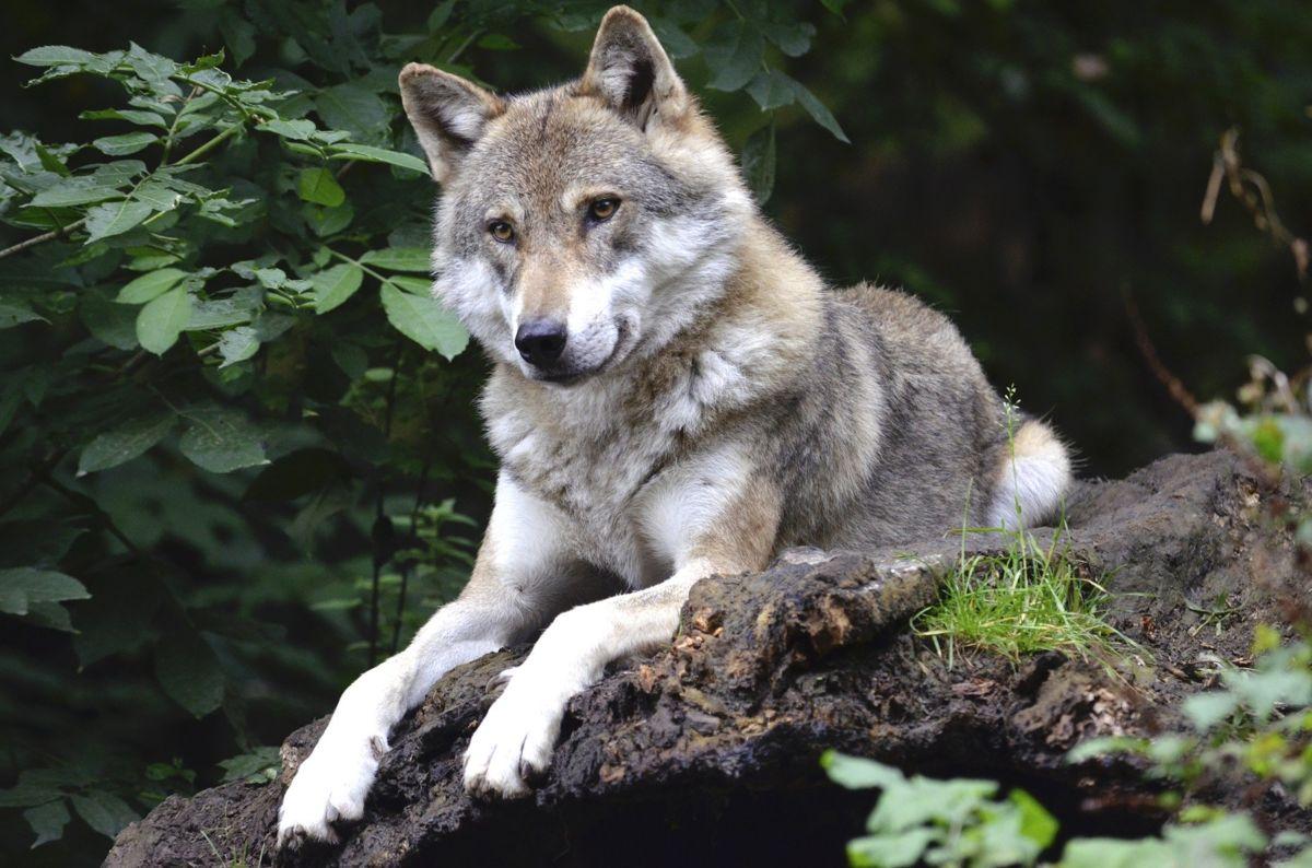 Verhaltensregeln bei Wolfsbegegnung
