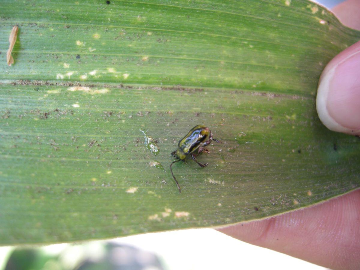 Der Maiswurzelbohrer erschwert den Maisanbau